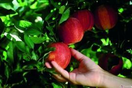 #tydzieńJABŁKOWY – 6 ciekawostek o jabłkach, których na pewno nie znasz