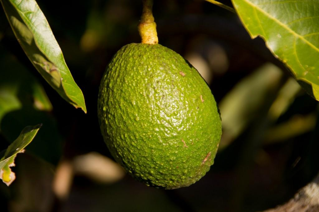 hass-avocado-415546_1280