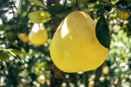 POMELO- 4 ciekawostki o tym egzotycznym owocu!